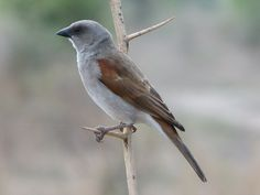 Northern grey-headed sparrow (Passer griseus) | Ghana