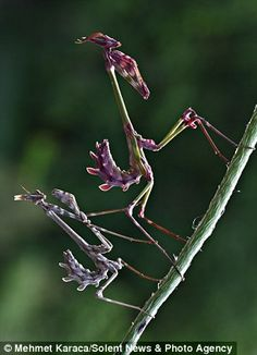 The twig-like praying mantises were snapped by professional photographer Mehmet Karaca in his hometown in Kahramanmaras, a province in Turkey. Beautiful Bugs, Amazing Nature, Beautiful World, Weird Insects, Cool Insects, Mantis Religiosa, A Bug's Life, Wild Life, Fotografia Macro