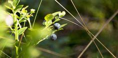 Ravanti Events, Blueberries   by visitsouthcoastfinland #visitsouthcoastfinland #blueberries #mustikka #metsä #forest