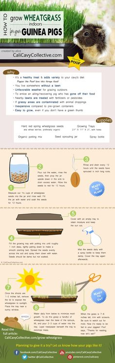 Can guinea pigs eat wheatgrass? Yes! How to grow wheatgrass for your cavy instructions