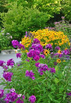 "Classic late summer perennial garden color - gold Rudbeckia & plum Phlox paniculata ""Nicky"""
