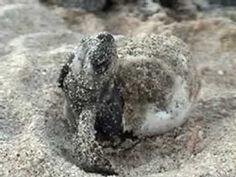 One Tiny Turtle (Nicola Davies) Baby Sea Turtle Hatches
