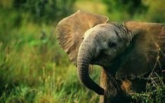 Smiling Baby African Elephant  #animal #smiling #baby #african #elephant