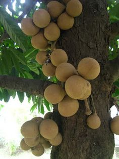 Buah kepel or burahol (Stelechocarpus burahol) is an edible fruit from the humid evergreen forest of South East Asia. The fruit tree is only grown in Central Java