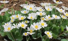 They are very easy to grow and care for. These also grow well when planted around shady areas around a lake or pond and help with soil erosion problems. They produce beautiful white flowers that are made up of long slender petals and has a bright yellow center to them.