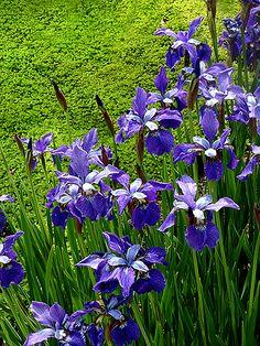 A border of purple irises