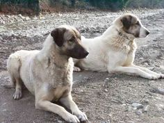 ANATOLIAN SHEPHERD   The Anatolian is a livestock guardian breed from Turkey, where it was used to guard flocks as well as property. Although they work independently, they are exceptionally faithful to their masters and will do anything to get their job done. This is a strong working breed that needs a job to do even if not living on a farm, making them suitable for active homes only.