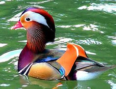 The Mandarin Duck. This just might be the cutest duck I have ever seen. Look at his little wings! :)