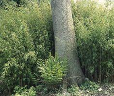 Bamboe (Fargesia nitida)