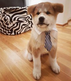 Tonbo the business man - #akita #akitainu #puppy #pup #valp #landskrona