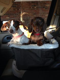 My dachshunds love their elevated car seat!