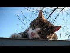 LEISURELY CAT ON THE ROOF Cats, Videos, Animals, Gatos, Animales, Kitty Cats, Animaux, Animal Memes, Cat Breeds