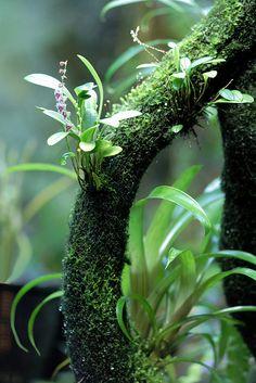 Stelis eublepharis var. rosea   by Mikaels orchids