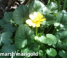 DO NOT EAT marsh marigold (Caltha palustris). Just admire the beauty, soon gone, of another spring ephemeral.