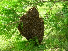 -taking a stroll in the woods, look out for swarms of bees...swarm_of_bees_.jpg