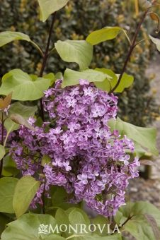 Monrovia's Old Glory Lilac details and information. Learn more about Monrovia plants and best practices for best possible plant performance.