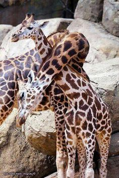 Giraffes necking ...........click here to find out more http://googydog.com
