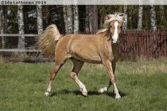Finnhorse - gelding Kivikolun Raikuli | http://www.sukuposti.net/hevoset/kivikolun-raikuli/1315035