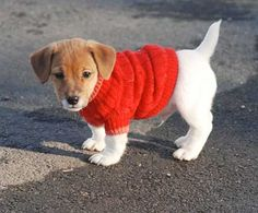 Life is merrier with a jack russell terrier, in a red sweater.