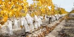 HERKUNFTSBEZEICHNUNG  Bein Anbau der eingetüteten Tafeltrauben aus dem Vinalopó-Tal wird ein besonderes Verfahren eingesetzt, das ihnen einzigartige geschmackliche und physische Eigenschaften verleiht. Deshalb sind sie auch die einzigen Tafeltrauben der Welt mit Herkunftsbezeichnung.  #herkunftsbezeichnung #Spanien #Tafeltrauben