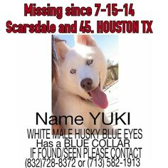 #lostdog #Houston #TX #Yuki is a white male husky with blue eyes. Wearing a blue collar. missing since 7.15.14 in Houston Texas near Scarsdale and  45 texa