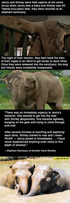 Reunited elephants - LOVE this! makes me cry. The elephant sanctuary is a WONDERFUL place.