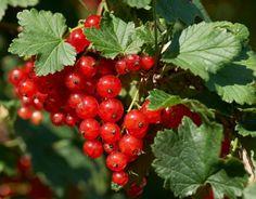 Фосфорные удобрения влияют на размер плодов, а калийные – на их сладость