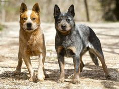 Australian Cattle Dog - Puppies
