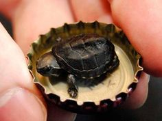 Tartaruga de 1 grama encontrada nos EUA, de tão pequena pode se acomodar em uma tampinha .