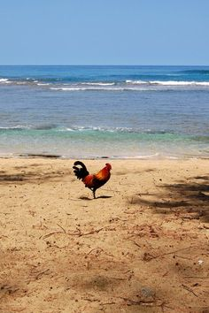 whats a chicken doin on a beach, I ask?