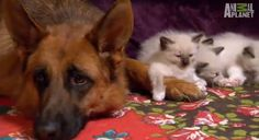 sweet-german-shepherd-meets-the-rag-doll-kittens