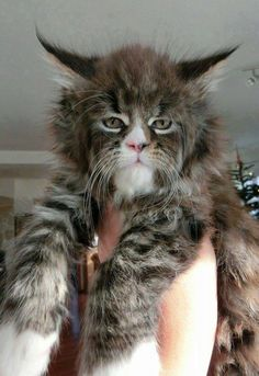 Maine Coon-Such a face! I've never seen a Maine Coon like this one before. It looks like it's part bobcat. Heavily part bobcat. Pretty Cats, Beautiful Cats, Animals Beautiful, I Love Cats, Crazy Cats, Cool Cats, Animals And Pets, Funny Animals, Cute Animals