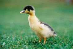 Dennis the Duckling - just too cute!