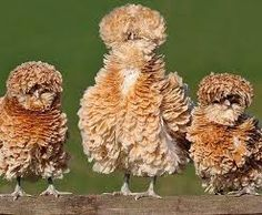 poland frizzle hens - holy cow I want some of these!!