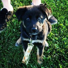German shepherd lab puppy.