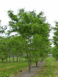 Gledisia triacanthos 'Skyline' #tree #multitrunk #multistem www.vdberk.co.uk