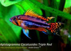 Dwarf Cichlid - Apistogramma cacatuoides Triple Red