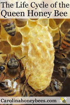 How is a queen bee made? Every beehive needs a queen bee. Explore the fascinating life cycle of the queen bee.