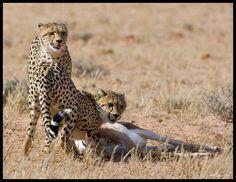 Cheetah at kill KTP