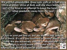 PSA on baby bunnies, please pass it on!
