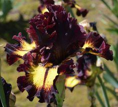 TB Iris germanica 'Flash Mob' (Keppel, 2016)