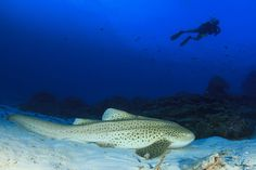 The Ultimate Diving Guide to Thailand Phuket Travel Guide, Thailand Travel Tips, Bangkok Travel, Visit Thailand, Bangkok Thailand, Best Beaches In Phuket, Best Places In Bangkok, Leopard Shark, Species Of Sharks
