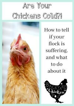 Winter can be a stressful time for new chicken keepers. Worries about the chicken coop being warm enough and the chickens surviving the bitter cold run through their minds. This post will help put your mind at ease and tell you exactly how to prepare the Best Chicken Coop, Backyard Chicken Coops, Chicken Coop Plans, Chicken Runs, Chicken Life, City Chicken, Chicken Coup, Chicken Garden, Backyard Poultry