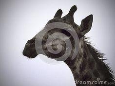 Photo about A view of a Giraffe`s head a rain shower. Image of rain, leaves, necks - 146558233 Elephant Images, Giraffe Head, Rain Shower, African Animals, Zebras, Wildlife, Stock Photos, Illustration, Rain