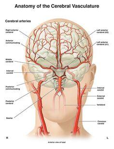 Anatomy of the Cerebral Vasculature Nerve Anatomy, Brain Anatomy, Human Body Anatomy, Medical Anatomy, Human Anatomy And Physiology, Medical Art, Medical Science, Computer Science, Medical School