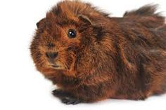 Image result for guinea pig