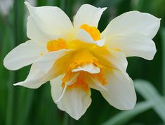 Double Daffodil (Narcissus 'Insulinde'?) | by Tiggrx