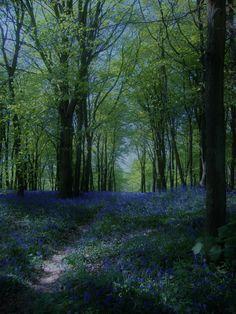 The winning shot - Bluebells in Shoreham Woods by Jenny Day-Winter