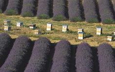 Beehives surrounded by lavender - Best buys for beekeepers