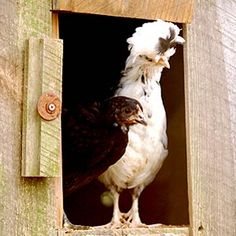 Raising Chickens - Which Breed is Right for You?